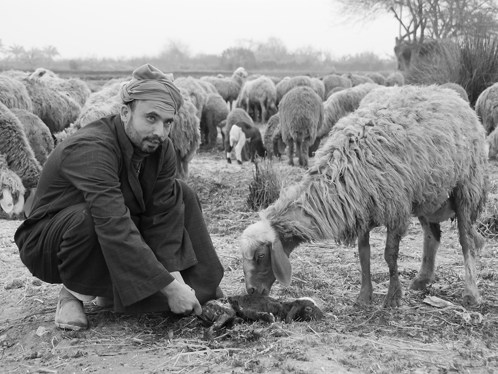 Sheepherder with young born sheep