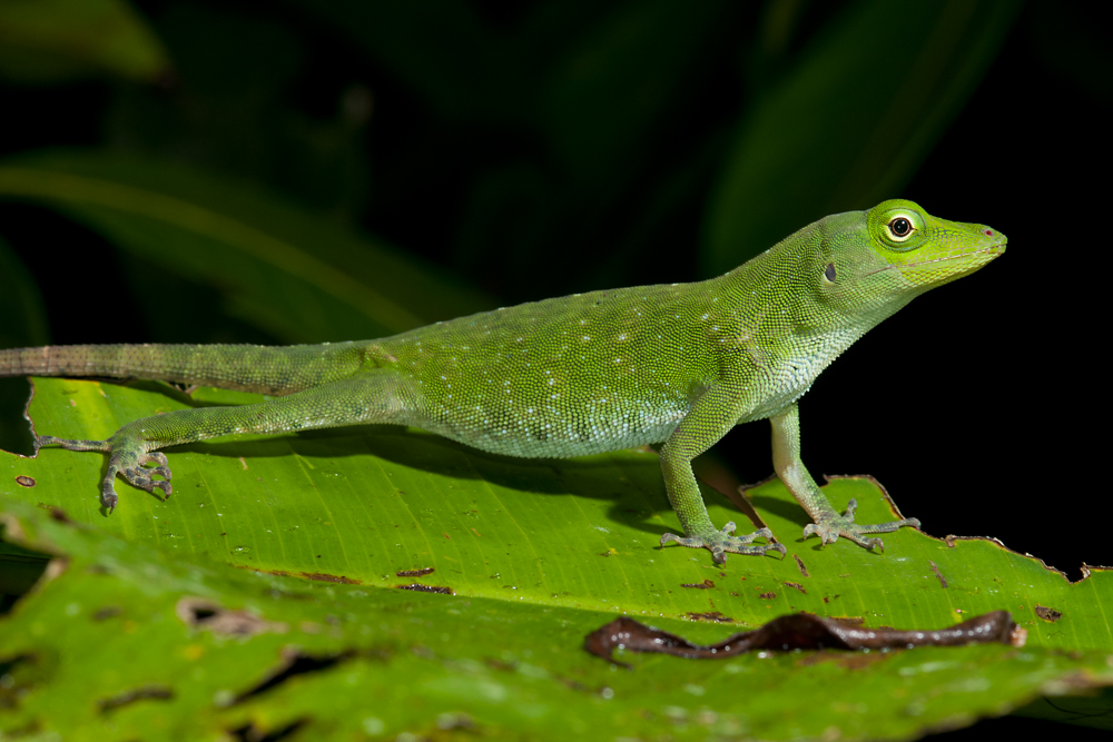 Neotropical Green Anole (Anolis biporcatus)