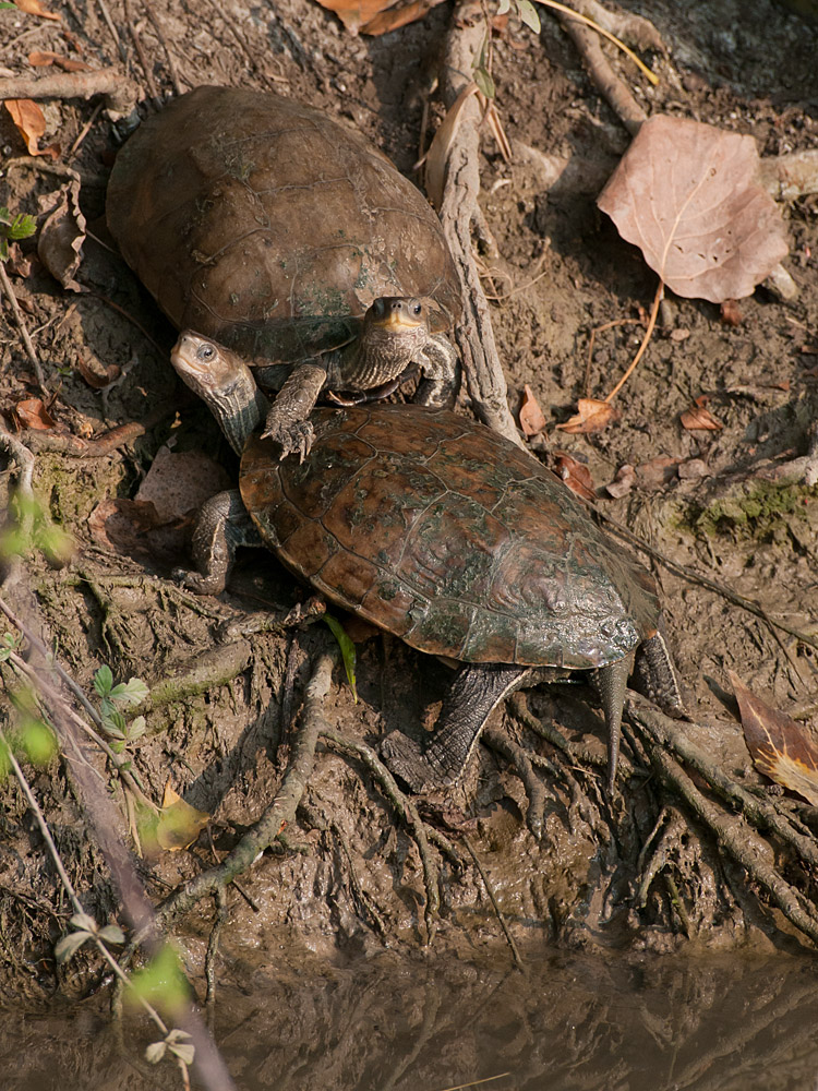 Balkan pond turtle