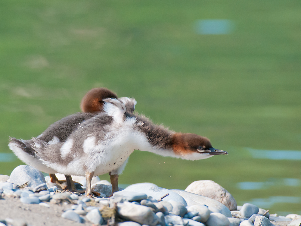 Ducklings of Mergus merganser