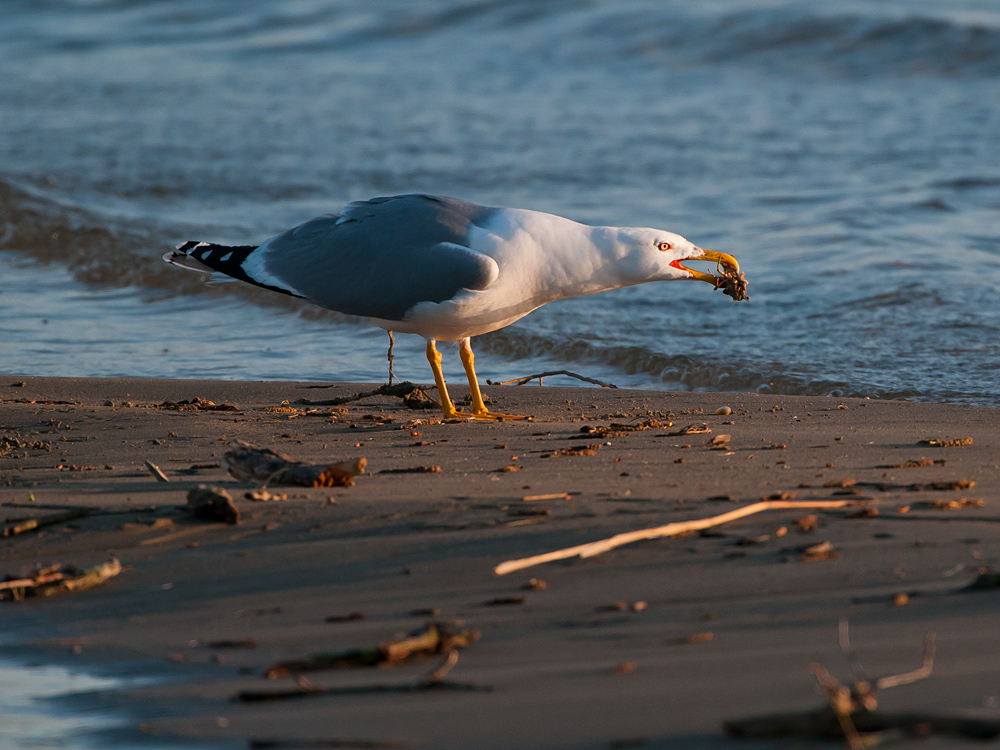 Yellow-legged Gull with crab