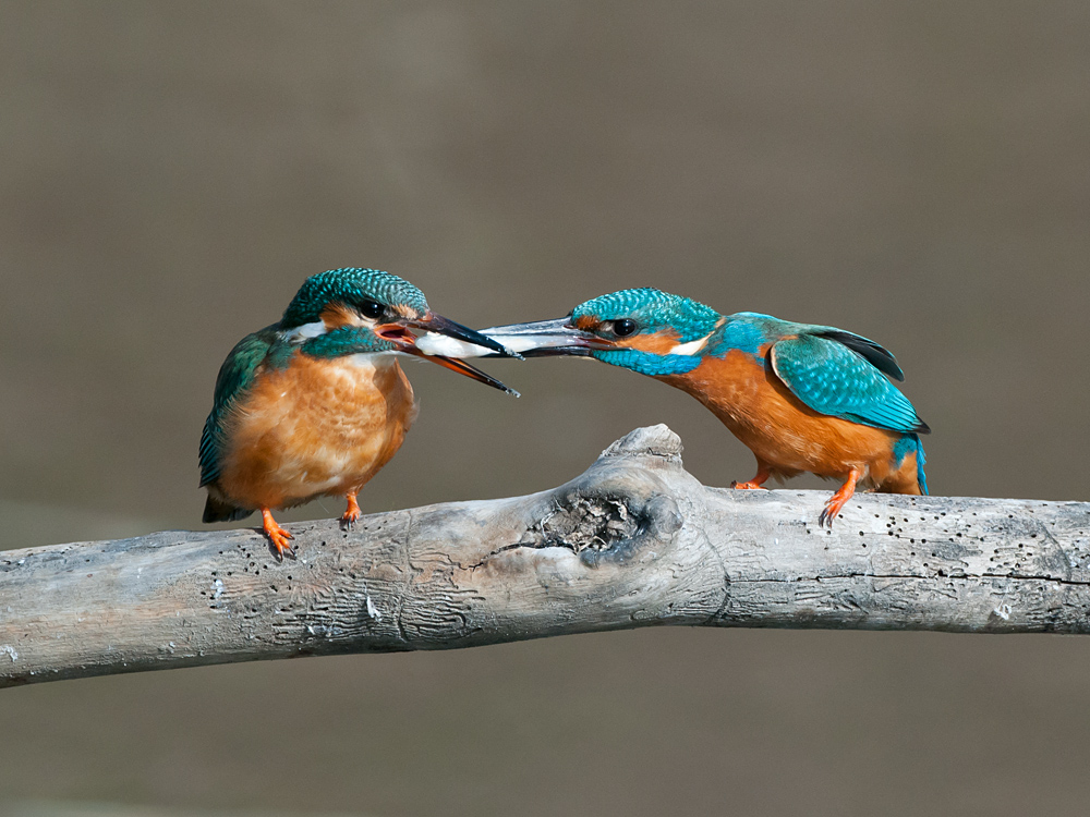 Common Kingfishers with weding present
