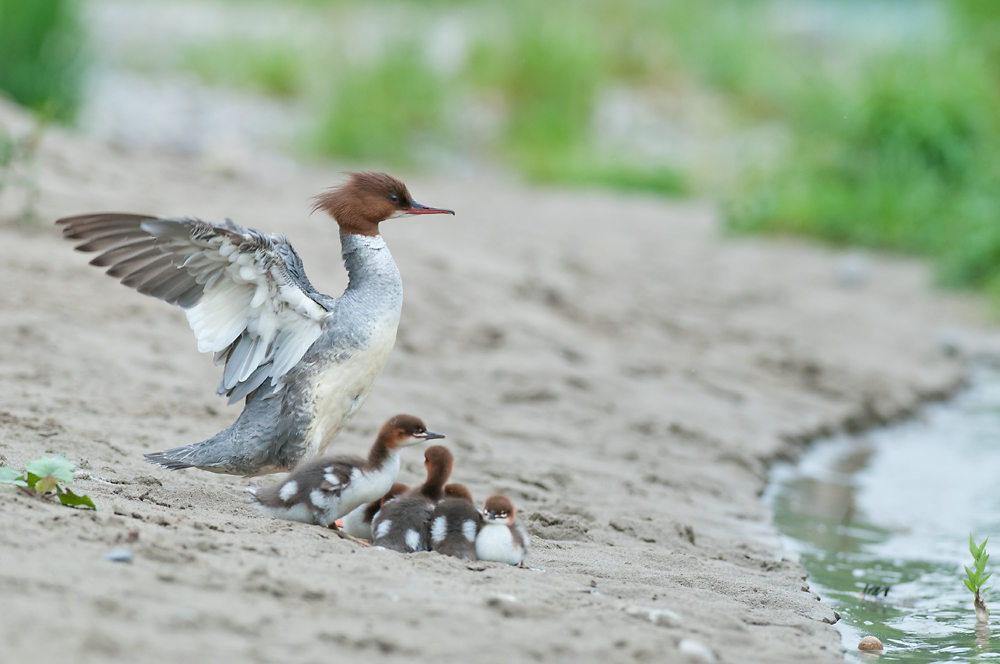 Mergus merganser with ducklings