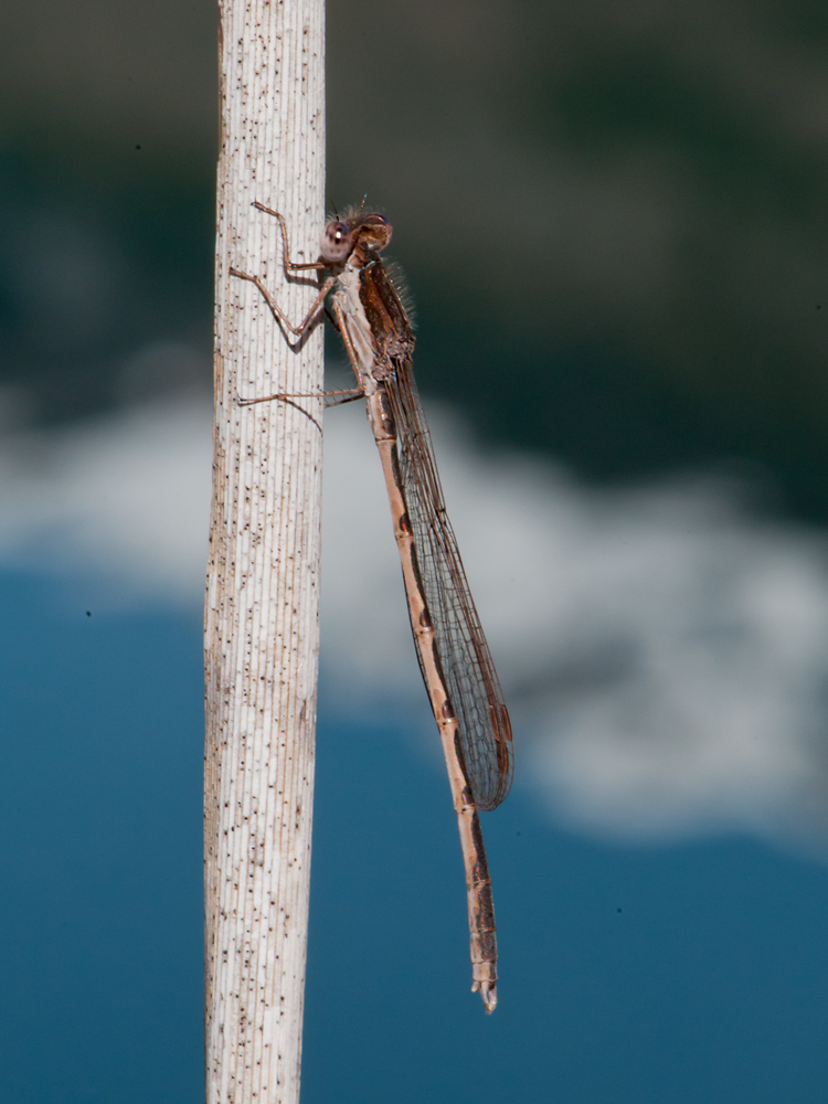 Sympecma fusca in front of snowy mountains