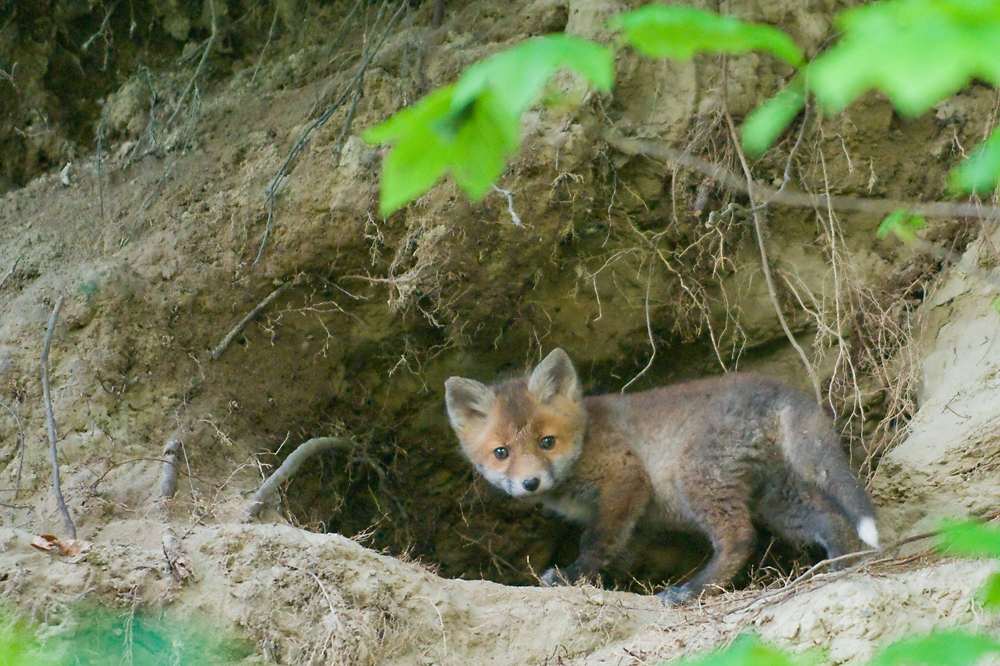 fox kit in front of hole