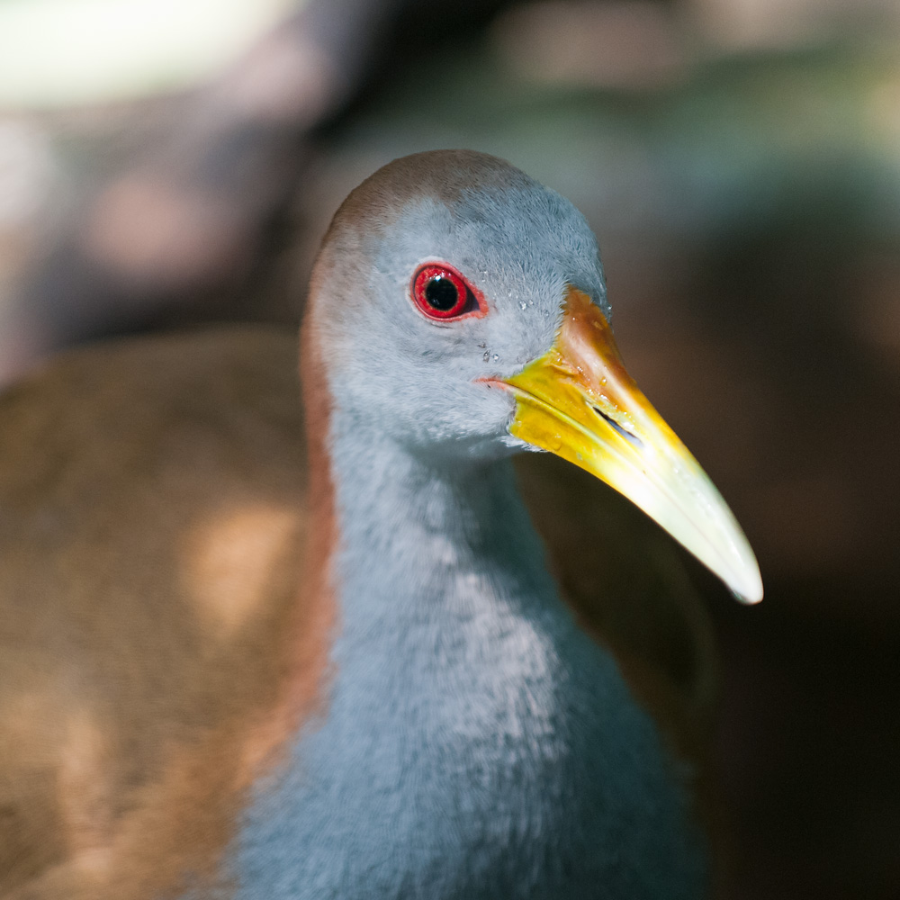 Grey-necked Wood Rail (Aramides cajanea)