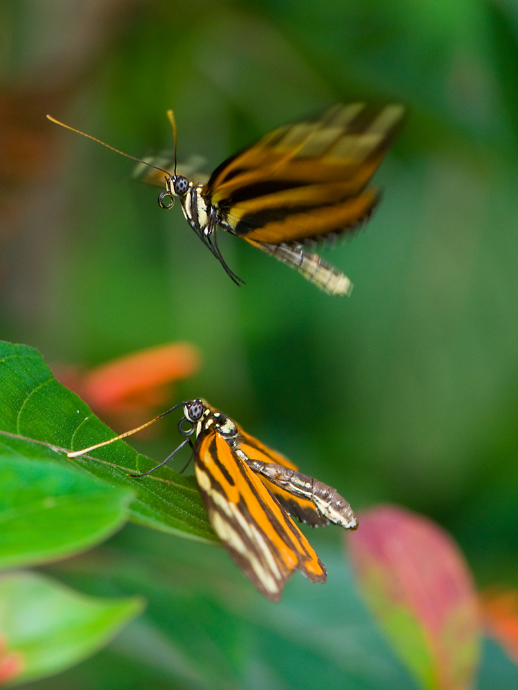 Pairing of heliconius ismenius clarescens II
