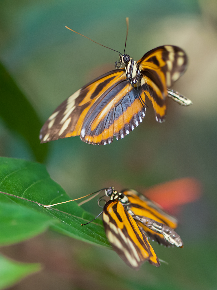 Pairing of heliconius ismenius clarescens I