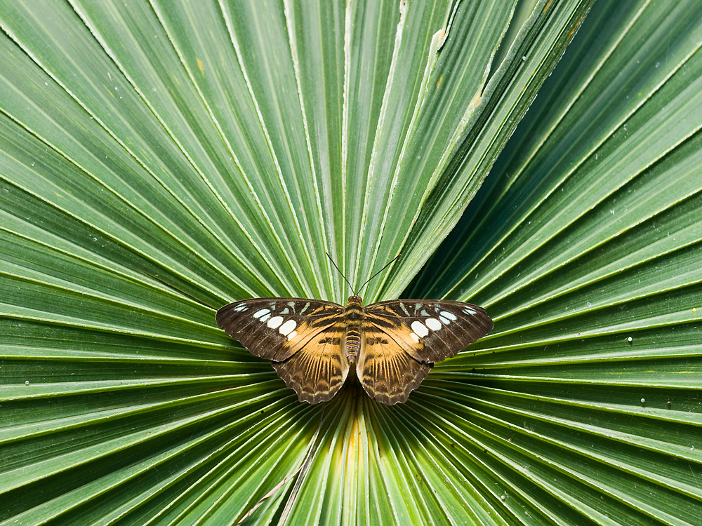 Symmetry  - Parthenos Sylvia