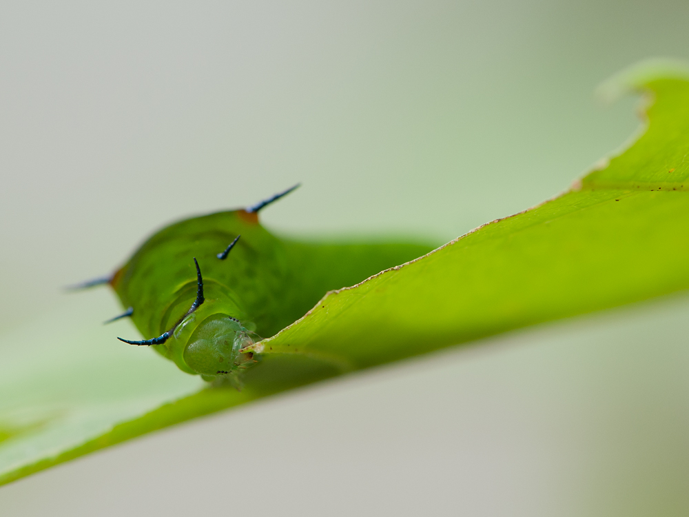 caterpillar of Graphium agamemnon