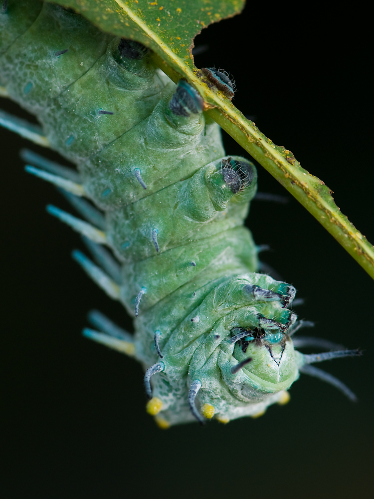 Caterpillar of Attacus atlas